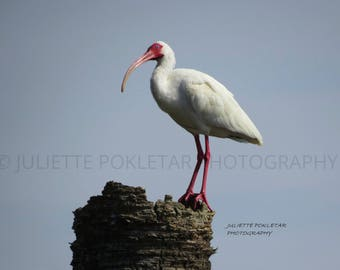Ibis, Perching, Canvas print