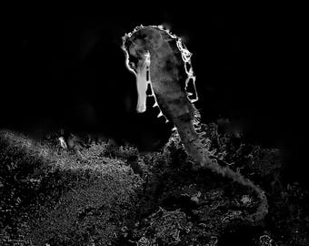 Seahorse by Night