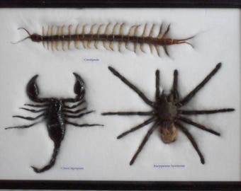 Real Spider Centipede Scorpion Collecion Taxldermy Framed /IS 35