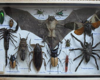 Real Multiple Insects Beetles Spider Scorpion Bat Collection In Woodem Box