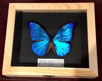 Dried genuine Butterflies Morpho RHETENOR CACICA real-frame-collectibles-specimen-Taxidermy-Collectible