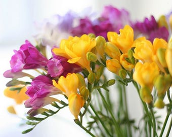 100 Seeds/Pack, Gorgeous Freesias DIY Garden Colorful & Fragrant Flower Plant - High Quality