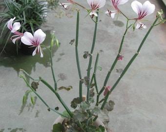 Pelargonium tetragonum extremely rare succulent pelargonium plant