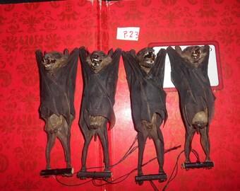 Taxidermy Real  Fruitbat Rousettus Leschenaulti Mummified 4 Pcs