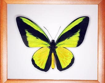 Ornithoptera goliath samson In the frame of the current breed of good wood