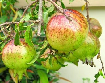 Thai Pomegranate Seeds, great source of Vitamin C, minerals and Fibre, 10 Fresh Seed