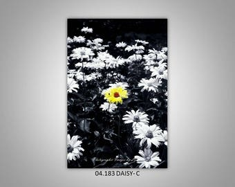 04.183 Daisy (colorized)  Limited Edition, Signed and Numbered 5x8 Image