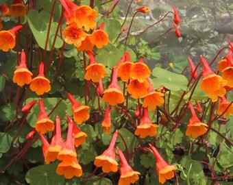 Mashua Tubers By The Pound - For Planting or Eating - Organic - Tropaeolum tuberosum – Tuberous Climbing Nasturtium, añu, or cubio