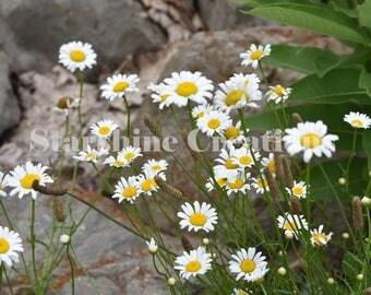 Daisy, wildflower, flower photography, 8x10, 5x7