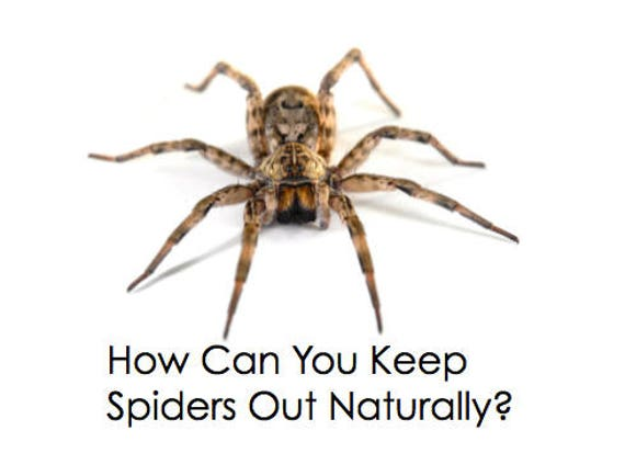 All natural spider repellent great to take camping Natural spider repellent