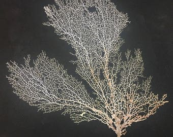 Beach Decor - Natural Bleached Sea Fan  - coral, coastal, nautical, seashells, starfish sea life