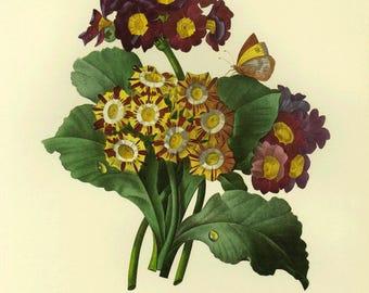 Redoute Flower Primrose Print Botanical Book Plate SALE~~Buy 3, get 1 Free