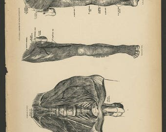 4 Vintage 1880 Human Anatomy Lithograph Print Legs, Foot, Muscles, Nerves, Veins, Arteries