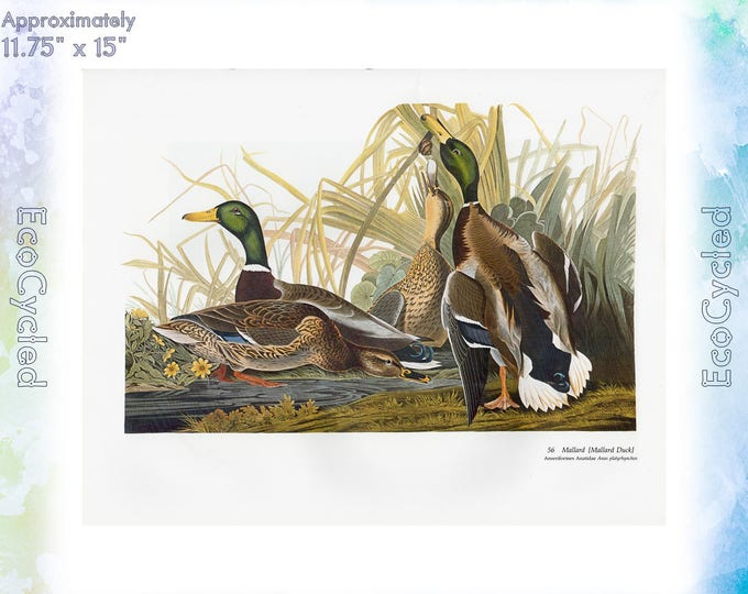 Audubon Mallard Ducks Birds of America Vintage Art Print Vintage Paper Ephemera John James Audubon, Baby Elephant Folio ready to frame 57