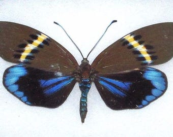 ONE Real Butterfly Blue Yellow Eterusia Repleta Day Flying Moth
