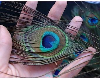 Peacock 1 x Peacock feather