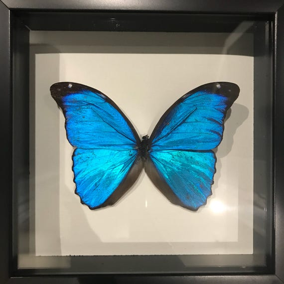 Real blue morpho butterfly taxidermy display