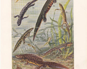 1950 Newts, Salamanders of Pleurodelinae - Smooth or Common Newt, Alpine Newt, Northern or Warty Crested Newt Original Antique Colored Plate