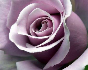 Sterling silver rose seeds,181, light purple  rose,roses seeds, roses from seeds,growing roses from seeds,seeds for roses,gardening
