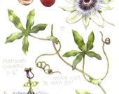 "Original watercolour painting | Passion Flower | Passiflora caerulea | 12"" x 16"" | Flowers fruit and leaves | Botanical art"