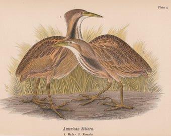 1890 Birds of Pennsylvania Shore Birds American Bittern Book Plate 5
