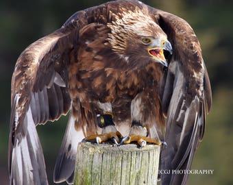 Harris Hawk, Hawk, Bird of Prey,