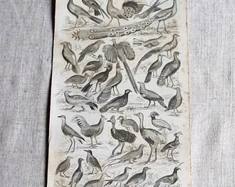 Bird Illustration, Drawing, Antique Print