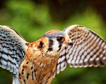 American Kestrel, Falcon Print, Raptor Photography, Bird of Prey, Bird Photo, Raptor Decor