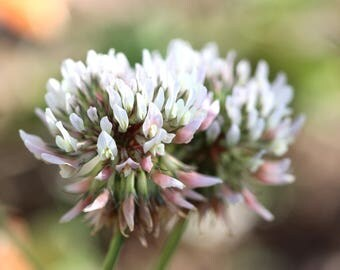 White Clover (Trifolium repens) Seeds (~1,000): Certified Organic, Non-GMO Summer Cover Crop Seed Packet