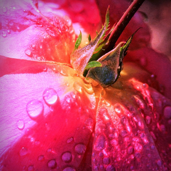 "Metal Art Print ""Dewy"", Flower Photography Printed on Aluminum with Flush Frame, Various Sizes, SPECIAL ORDER ONLY"