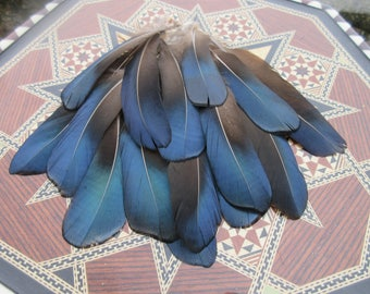 Feathers pheasant lady amherst, black with iridescent metallic blue 15cm approx 20pcs