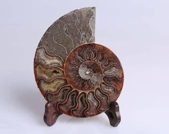 Split Ammonite Fossil Specimen Shell Healing Madagascar+Free Stand J515L