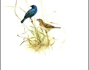 Indigo Bunting painted by J F Landsdowne for Birds of the Eastern Forest2. The page is approx. 9.5 inches wide and 13 inches tall.