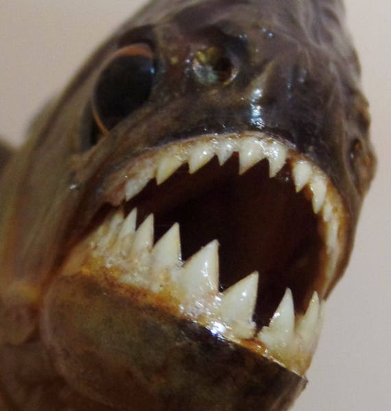 Real piranha fish taxidermy 6 mounted piranha fish for Pictures of piranha fish