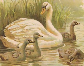 Gorgeous Swan Bird with Darling Baby Swans Wild Birds Wildlife Antique Color Lithograph Art Print 1898