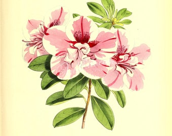 flowers-17477 - azalea empress of india indicum pink flower plant botanical sketch printable clipart paper vintage leaves floral flowering