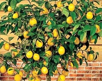 TreesAgain Potted Meyer Lemon Tree - Citrus meyeri - 8 to 12+ inches