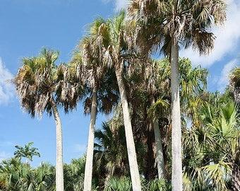 Puerto Rican Palmetto   Sabal causiarum   30 Seeds