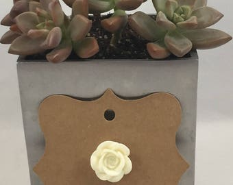 Rose Pin Creamy White
