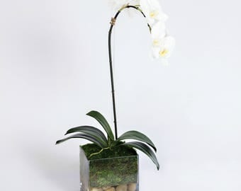 "Orchid in 6"" square glass vase"
