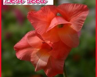 Red Gladiolus Seeds Aerobic Potted Indoor Courtyard Garden Plant Seeds Gladiolus Flower Seeds Perennial 100 PCS