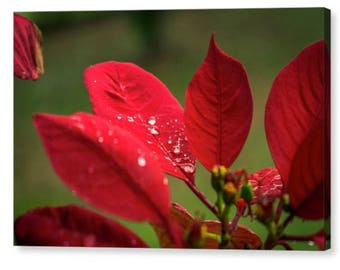 Easter Flower Wall Canvas, Flor de Pascua, Art Prints, Wall Hanging, Canvas Photo, Wall Art, Home Decor, Macro Photography, Red Flower Photo