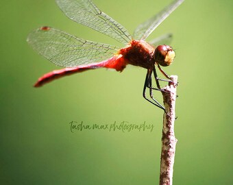Red Meadowhawk Dragonfly - Nature Photography, Close Up, Macro, Green, Insect, Home Decor, Wall Art