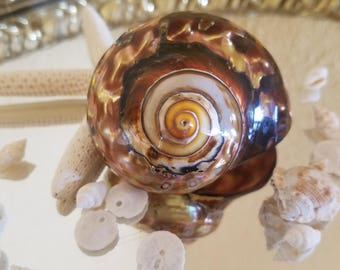 South African Turbo Shells Highly Polished Coastal Decor Collection, Weddings, Jewelry, Hermit Crabs, Mirrors Frames Art Crafts Copper Tones