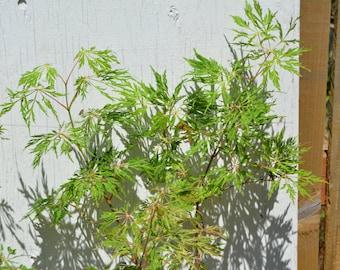 Fairy Lights Japanese Maple Tree