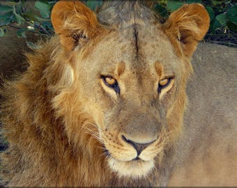 Poster, Many Sizes Available; Lion In Chobe National Park, Botswana