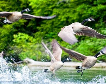 Canada Geese, Wildlife Photography, Flock of Geese, Canada Goose, Bird in Flight, Nature Photograph, Bird Photo, Geese Print, Wildlife Print