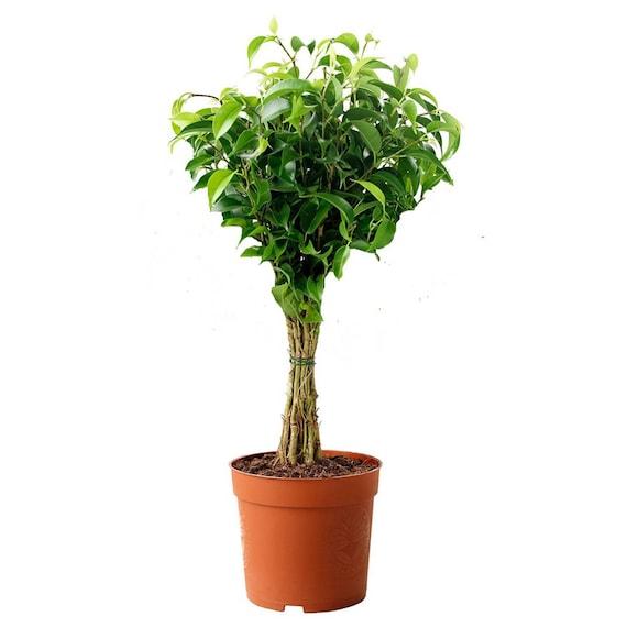 LIVE Ficus Benjamina Green aka Weeping Fig Benjamin Fig