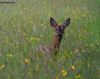 Wild roe deer in summer meadow