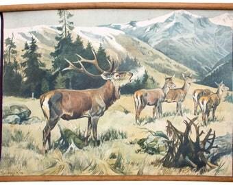 Deer, educational chart, Franz Roubal, 1925